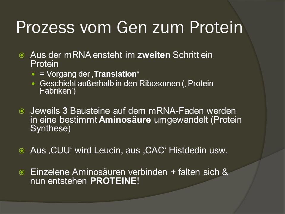 Prozess vom Gen zum Protein  Aus der mRNA ensteht im zweiten Schritt ein Protein = Vorgang der 'Translation' Geschieht außerhalb in den Ribosomen ('