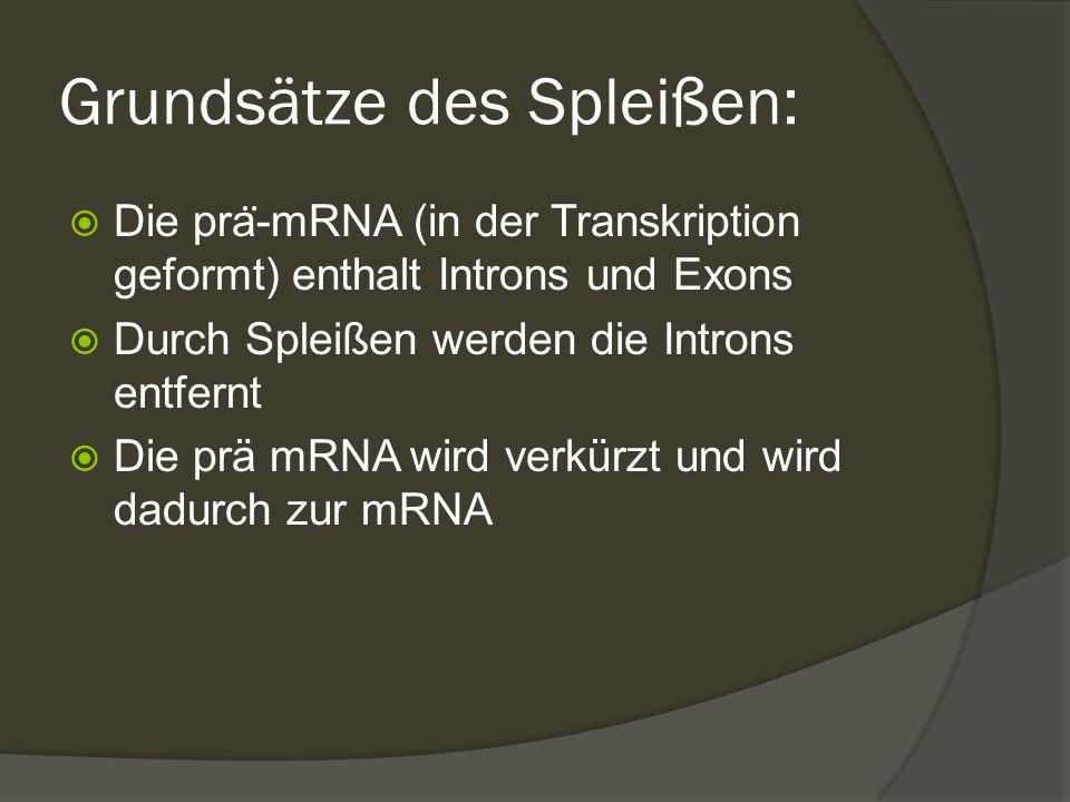 Grundsätze des Spleißen:  Die pra ̈ -mRNA (in der Transkription geformt) enthalt Introns und Exons  Durch Spleißen werden die Introns entfernt  Die