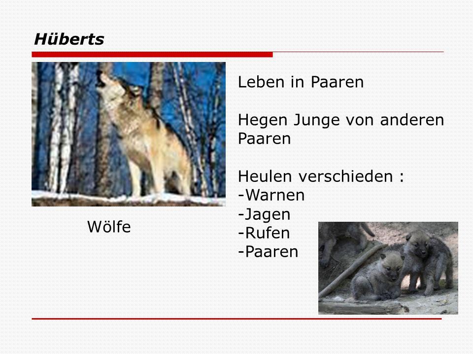 Hüberts Wölfe Leben in Paaren Hegen Junge von anderen Paaren Heulen verschieden : -Warnen -Jagen -Rufen -Paaren
