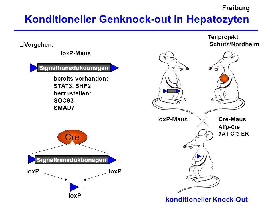 Freiburg Konditioneller Genknock-out in Hepatozyten Vorgehen: Cre loxP Signaltransduktionsgen loxP Cre-MausloxP-Maus konditioneller Knock-Out Alfp-Cre