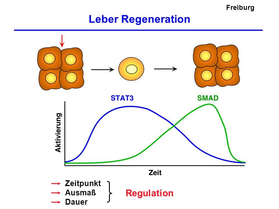 Leber Regeneration Zeitpunkt Ausmaß Dauer Regulation