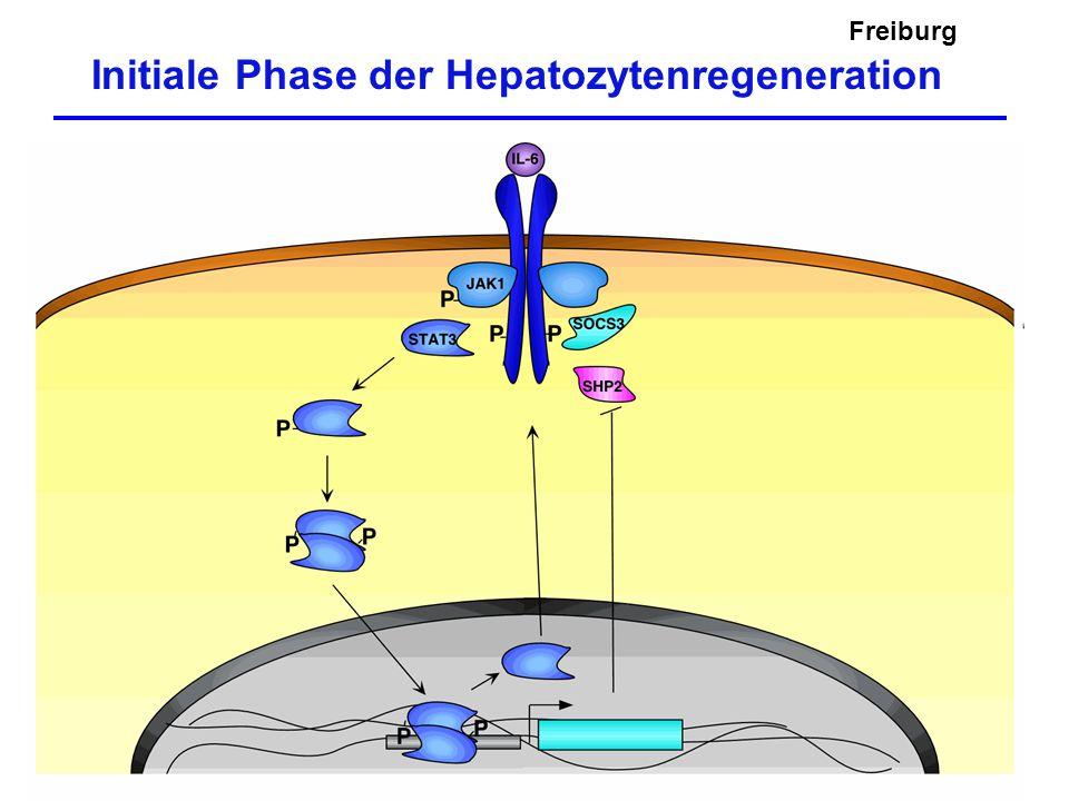 Freiburg Initiale Phase der Hepatozytenregeneration