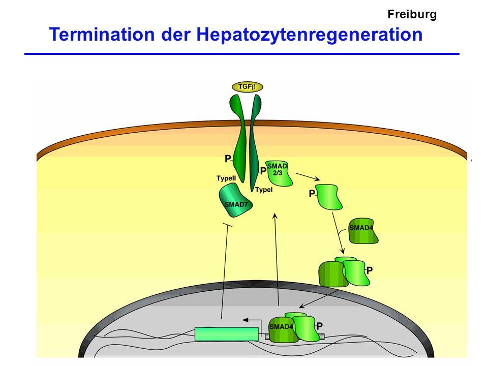 Freiburg Termination der Hepatozytenregeneration