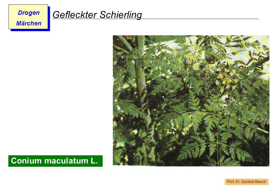 Prof. Dr. Gundula Barsch Drogen Märchen Gefleckter Schierling Conium maculatum L.