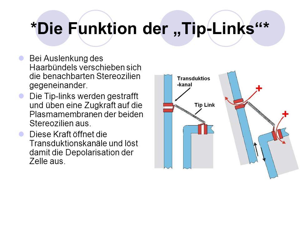 *Die Funktion der Tip-Links* Bei Auslenkung des Haarbündels verschieben sich die benachbarten Stereozilien gegeneinander. Die Tip-links werden gestraf