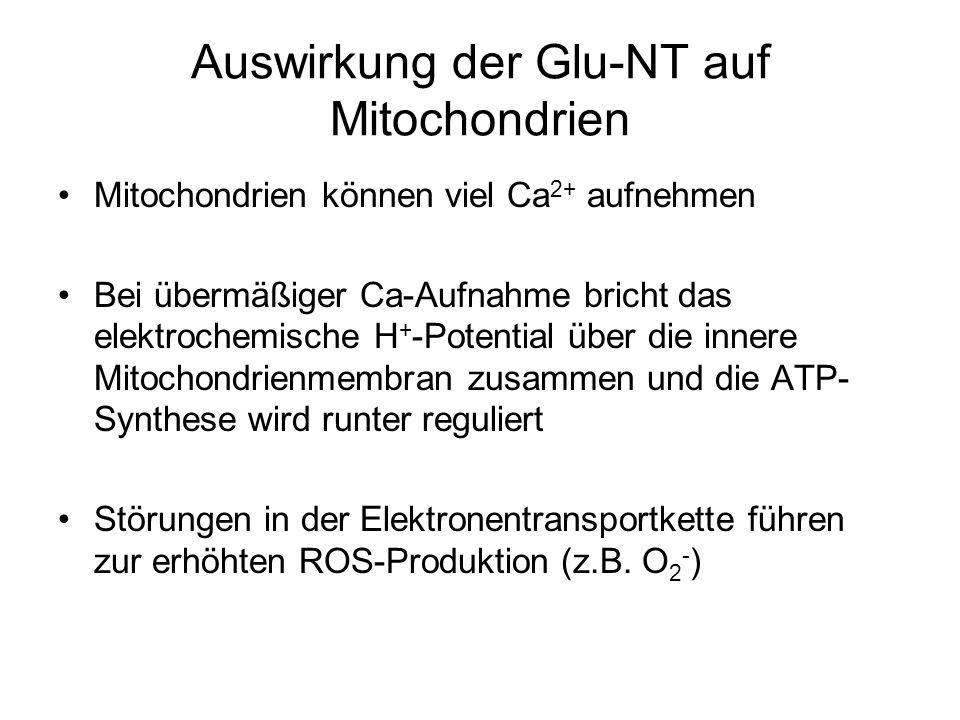 Auswirkung der Glu-NT auf Mitochondrien Mitochondrien können viel Ca 2+ aufnehmen Bei übermäßiger Ca-Aufnahme bricht das elektrochemische H + -Potential über die innere Mitochondrienmembran zusammen und die ATP- Synthese wird runter reguliert Störungen in der Elektronentransportkette führen zur erhöhten ROS-Produktion (z.B.