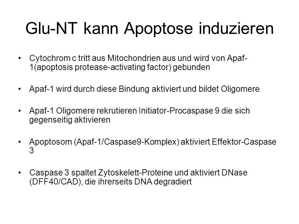 Glu-NT kann Apoptose induzieren Cytochrom c tritt aus Mitochondrien aus und wird von Apaf- 1(apoptosis protease-activating factor) gebunden Apaf-1 wird durch diese Bindung aktiviert und bildet Oligomere Apaf-1 Oligomere rekrutieren Initiator-Procaspase 9 die sich gegenseitig aktivieren Apoptosom (Apaf-1/Caspase9-Komplex) aktiviert Effektor-Caspase 3 Caspase 3 spaltet Zytoskelett-Proteine und aktiviert DNase (DFF40/CAD), die ihrerseits DNA degradiert
