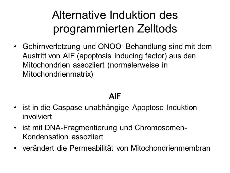 Alternative Induktion des programmierten Zelltods Gehirnverletzung und ONOO - -Behandlung sind mit dem Austritt von AIF (apoptosis inducing factor) aus den Mitochondrien assoziiert (normalerweise in Mitochondrienmatrix) AIF ist in die Caspase-unabhängige Apoptose-Induktion involviert ist mit DNA-Fragmentierung und Chromosomen- Kondensation assoziiert verändert die Permeabilität von Mitochondrienmembran