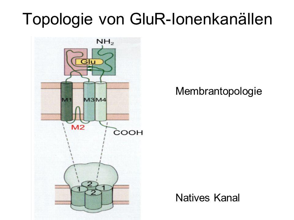 Topologie von GluR-Ionenkanällen Membrantopologie Natives Kanal