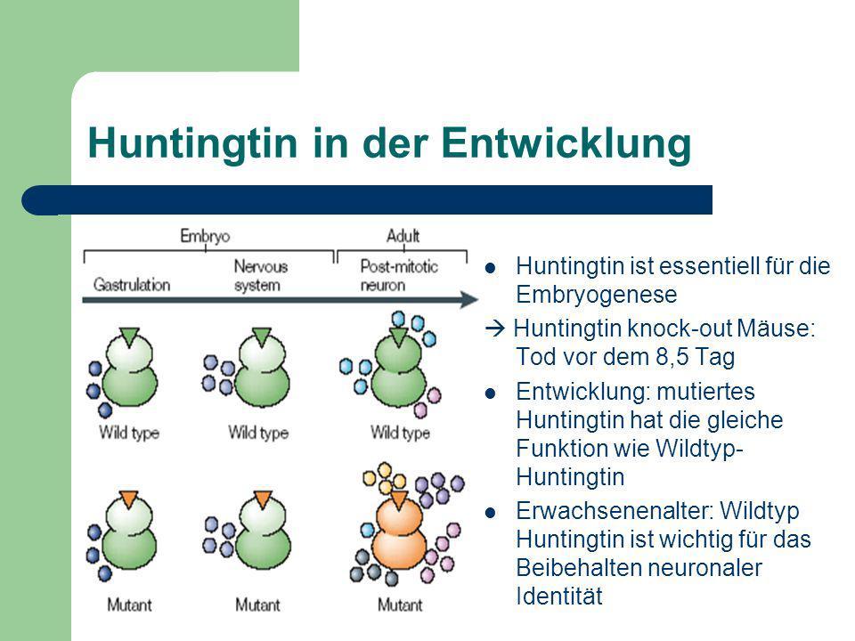 Huntingtin in der Entwicklung Huntingtin ist essentiell für die Embryogenese Huntingtin knock-out Mäuse: Tod vor dem 8,5 Tag Entwicklung: mutiertes Hu