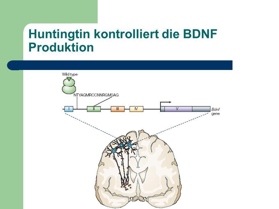 Huntingtin kontrolliert die BDNF Produktion