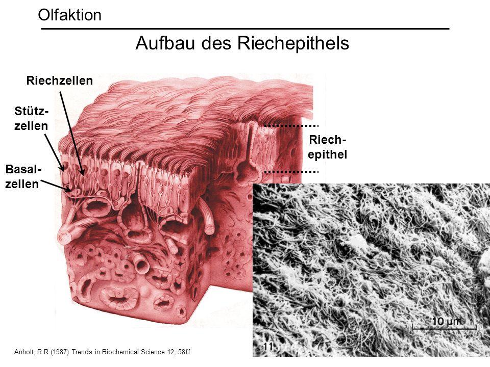 Quelle: Kleene + Gesteland (1981) Brain Res. 229: 536 Riechzellen Stütz- zellen Riech- epithel Anholt, R.R (1987) Trends in Biochemical Science 12, 58