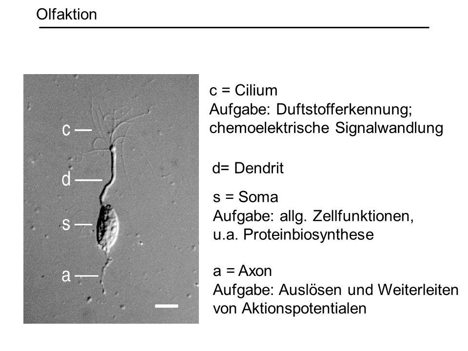 c = Cilium Aufgabe: Duftstofferkennung; chemoelektrische Signalwandlung s = Soma Aufgabe: allg. Zellfunktionen, u.a. Proteinbiosynthese a = Axon Aufga