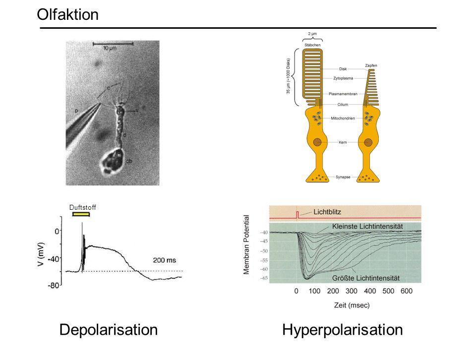 DepolarisationHyperpolarisation Duftstoff Olfaktion