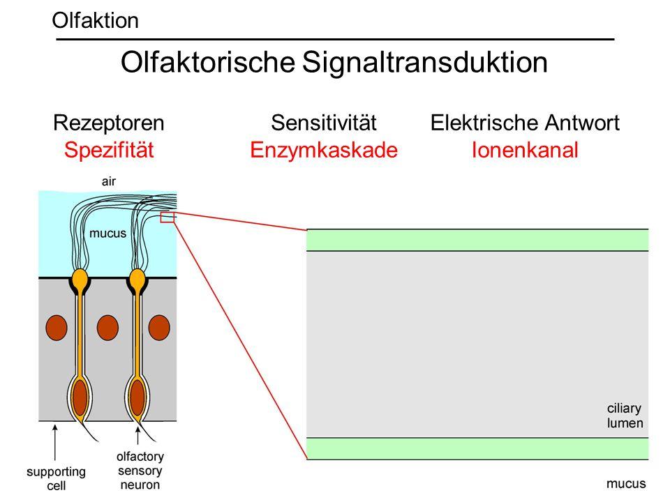 Rezeptoren Spezifität Sensitivität Enzymkaskade Elektrische Antwort Ionenkanal Olfaktorische Signaltransduktion Olfaktion