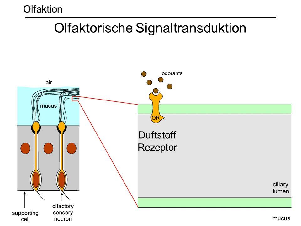 Duftstoff Rezeptor Olfaktorische Signaltransduktion Olfaktion