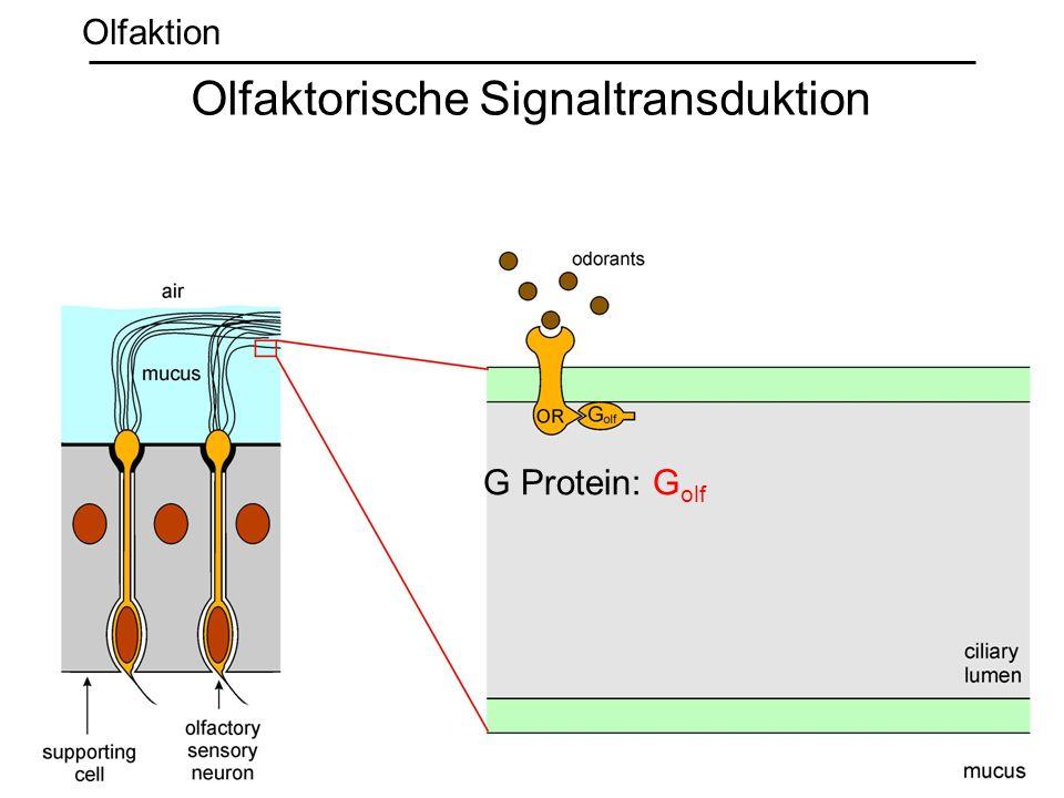 G Protein: G olf Olfaktorische Signaltransduktion Olfaktion
