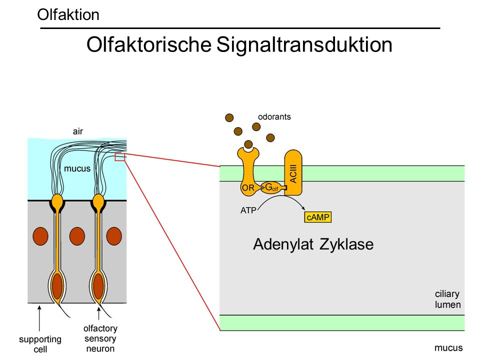 Adenylat Zyklase Olfaktorische Signaltransduktion Olfaktion