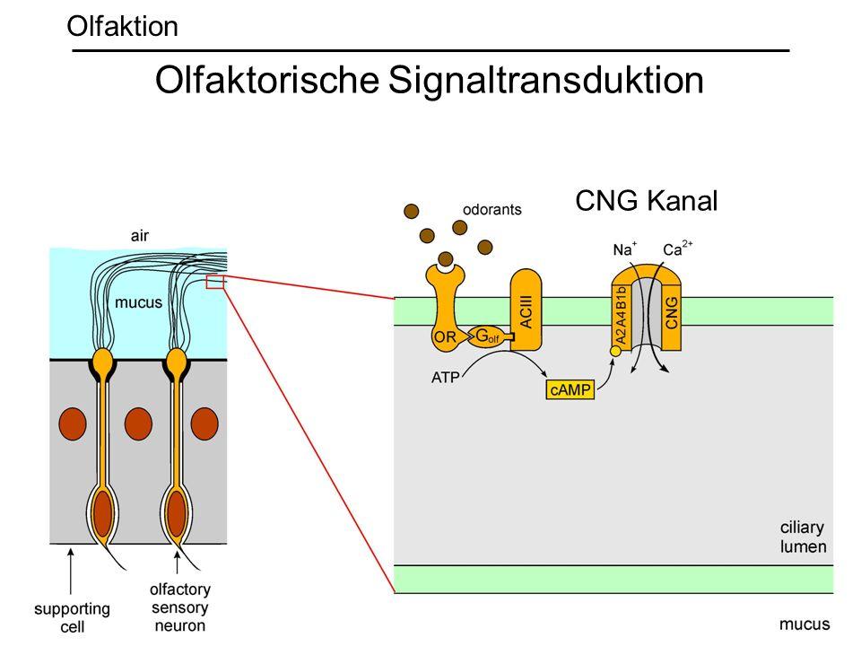 CNG Kanal Olfaktorische Signaltransduktion Olfaktion
