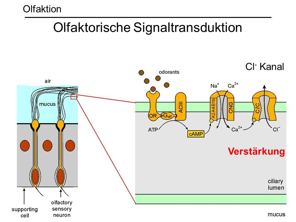 Verstärkung Cl - Kanal Olfaktorische Signaltransduktion Olfaktion