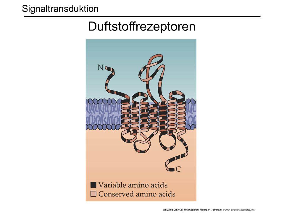 Signaltransduktion Duftstoffrezeptoren
