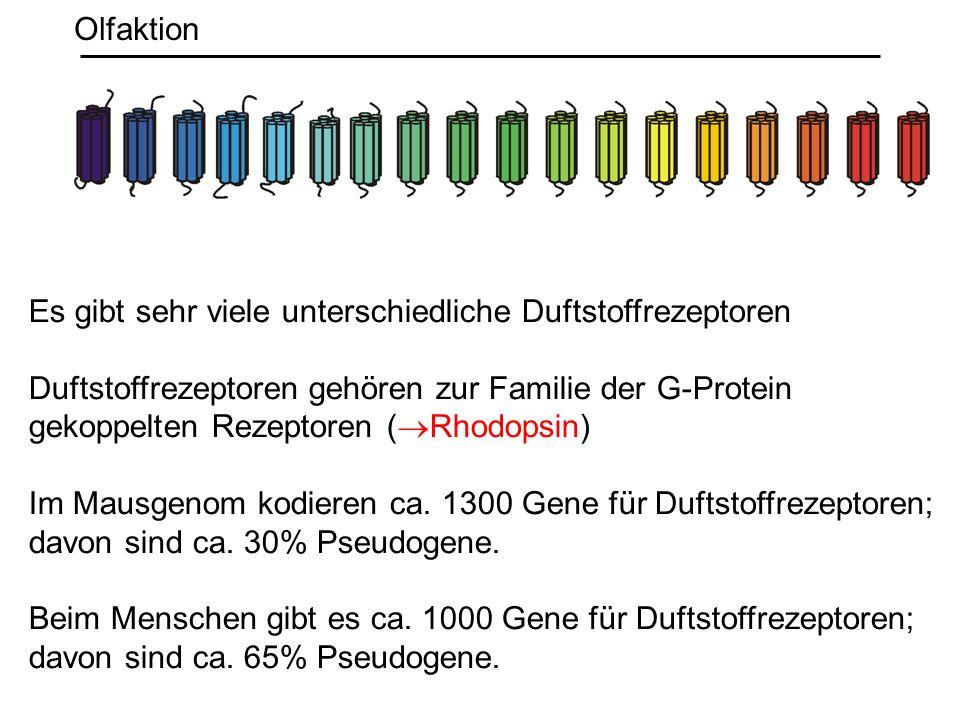 Es gibt sehr viele unterschiedliche Duftstoffrezeptoren Duftstoffrezeptoren gehören zur Familie der G-Protein gekoppelten Rezeptoren ( Rhodopsin) Im M