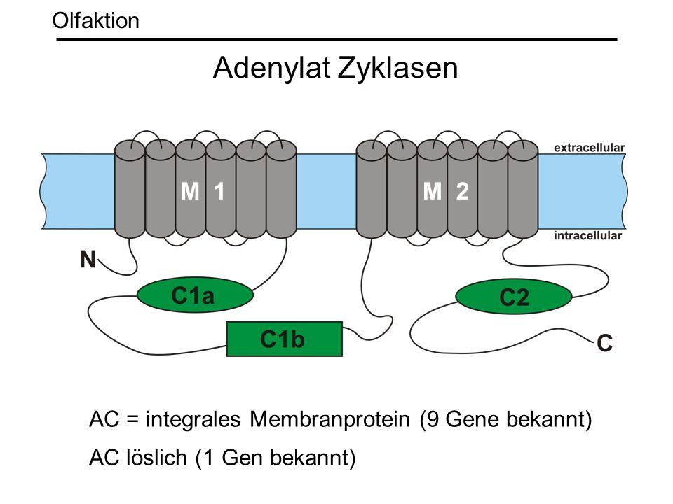Adenylat Zyklasen AC = integrales Membranprotein (9 Gene bekannt) AC löslich (1 Gen bekannt) Olfaktion