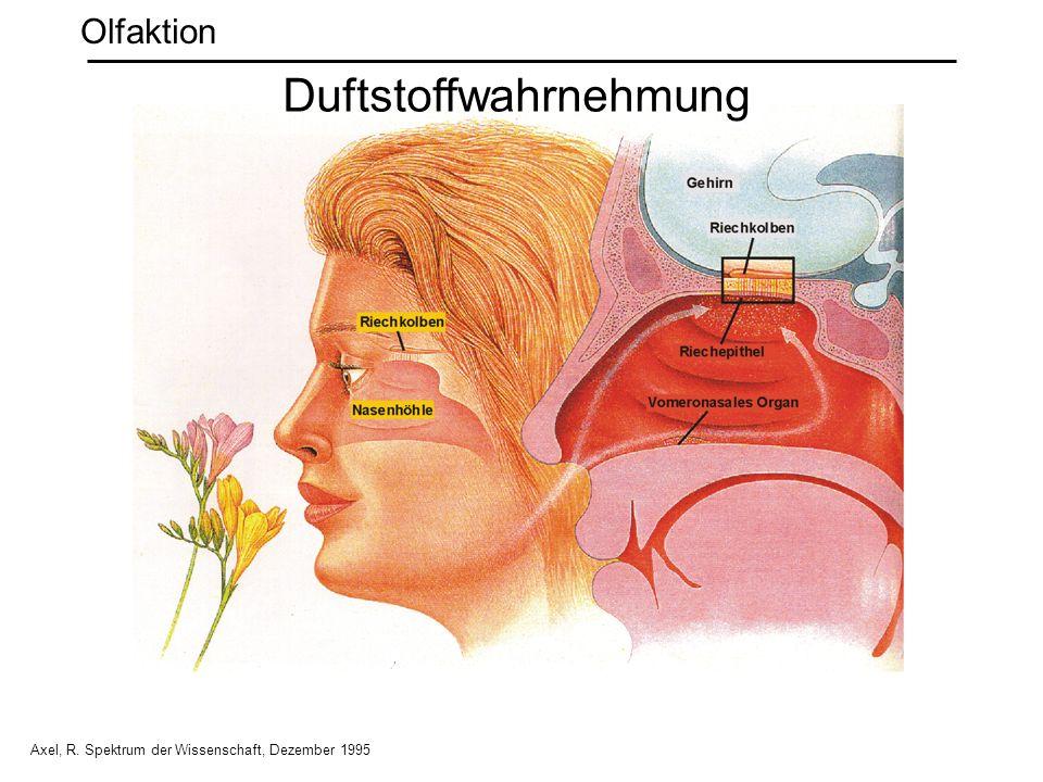 Axel, R. Spektrum der Wissenschaft, Dezember 1995 Duftstoffwahrnehmung Olfaktion