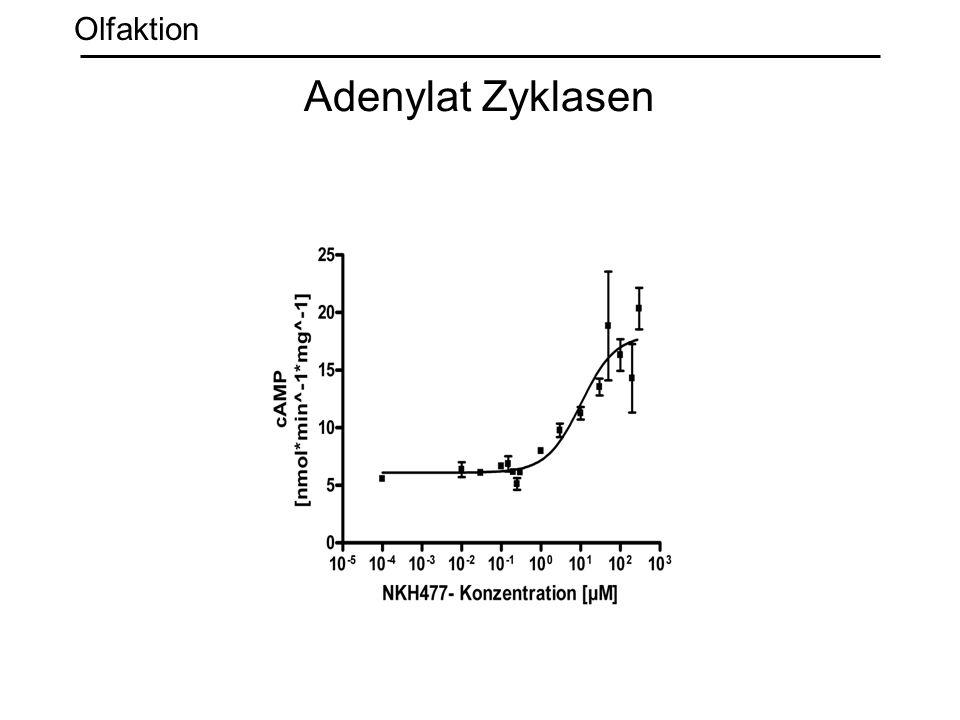 Adenylat Zyklasen Olfaktion