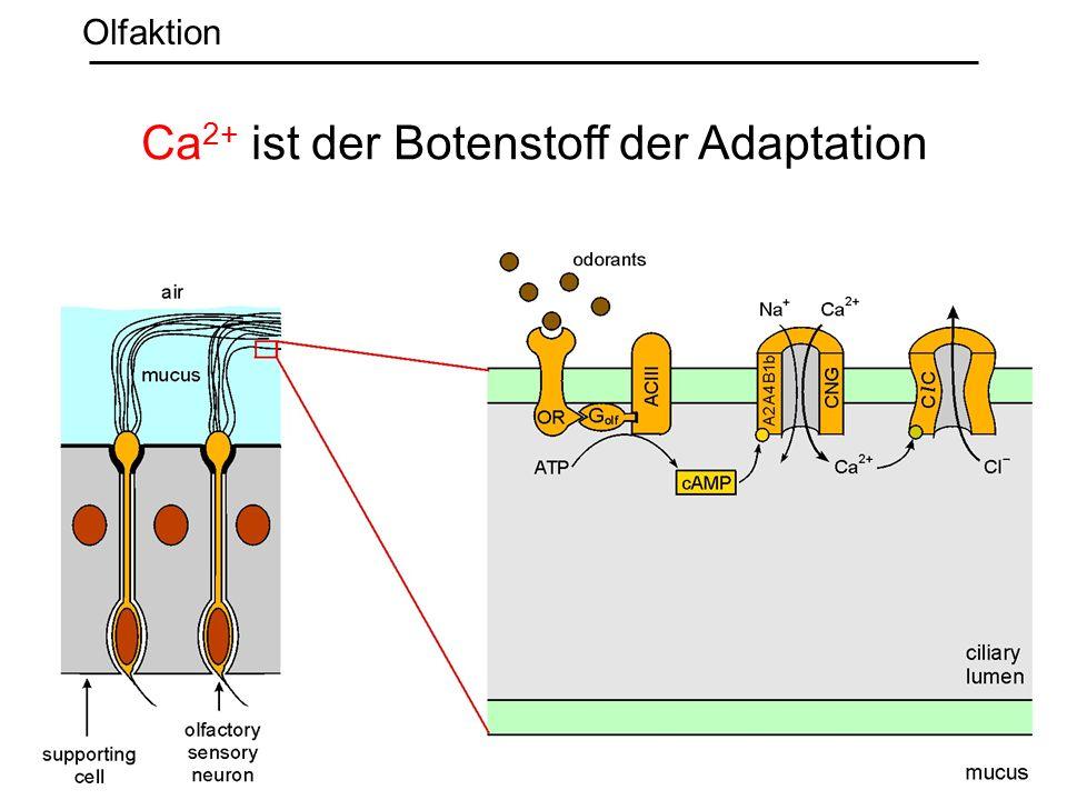 Ca 2+ ist der Botenstoff der Adaptation Olfaktion