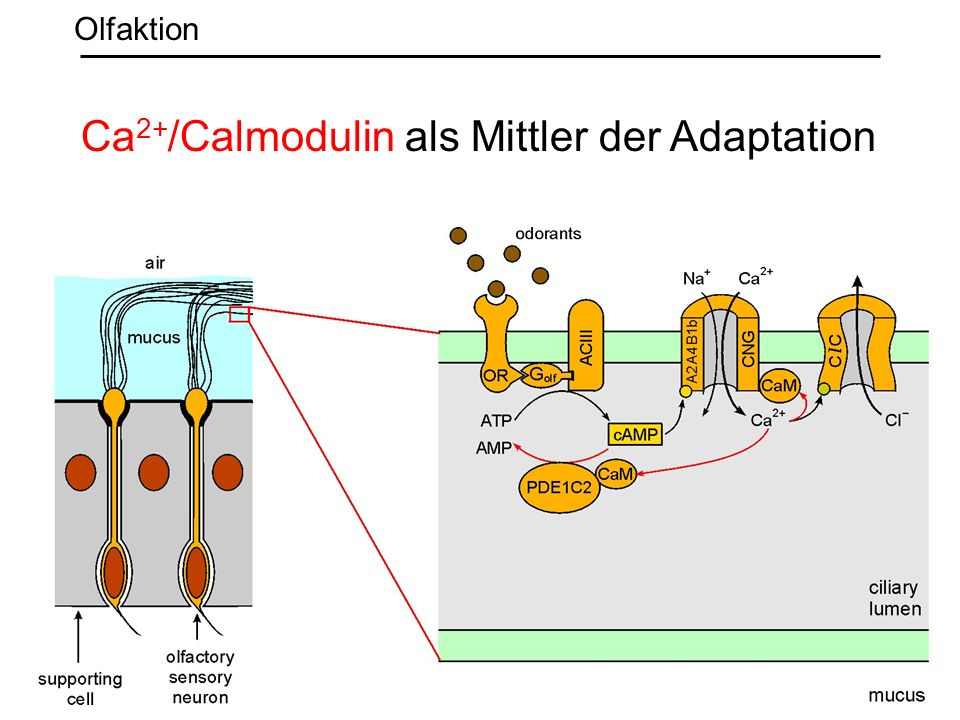 Ca 2+ /Calmodulin als Mittler der Adaptation Olfaktion