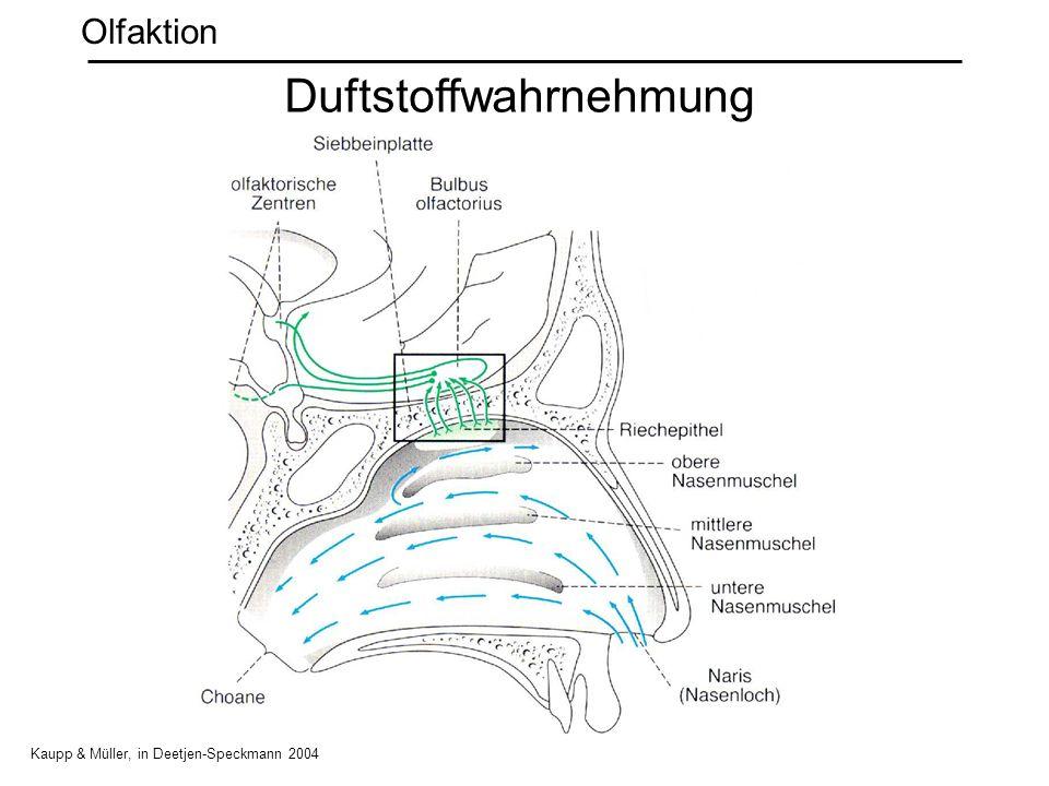 Duftstoffwahrnehmung Kaupp & Müller, in Deetjen-Speckmann 2004 Olfaktion