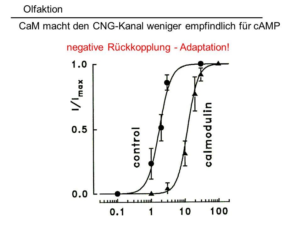 Olfaktion CaM macht den CNG-Kanal weniger empfindlich für cAMP negative Rückkopplung - Adaptation!