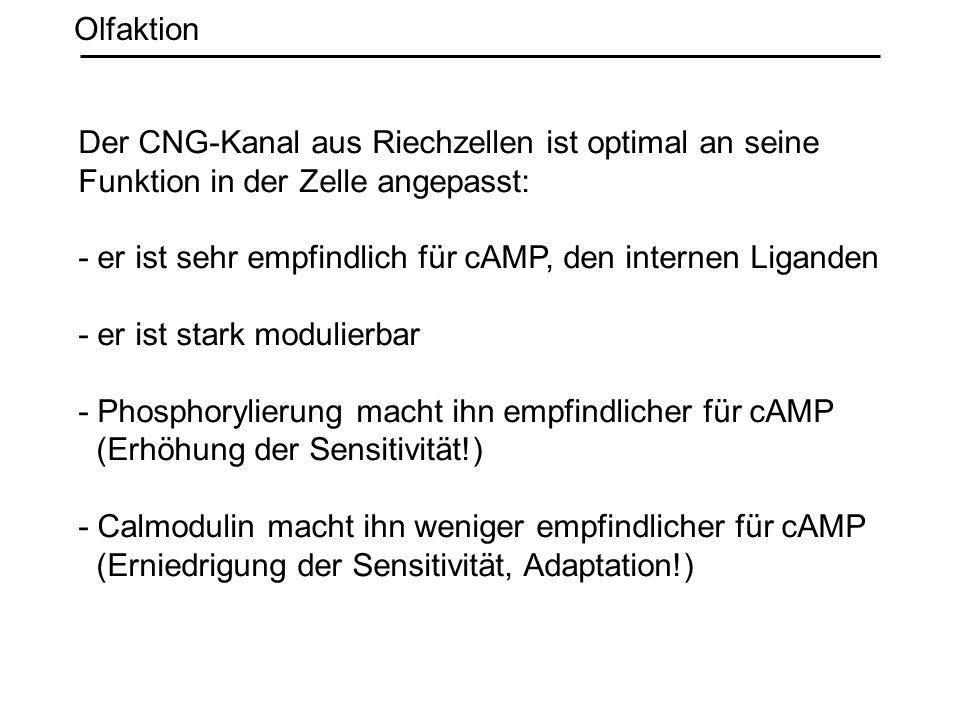 Olfaktion Der CNG-Kanal aus Riechzellen ist optimal an seine Funktion in der Zelle angepasst: - er ist sehr empfindlich für cAMP, den internen Ligande