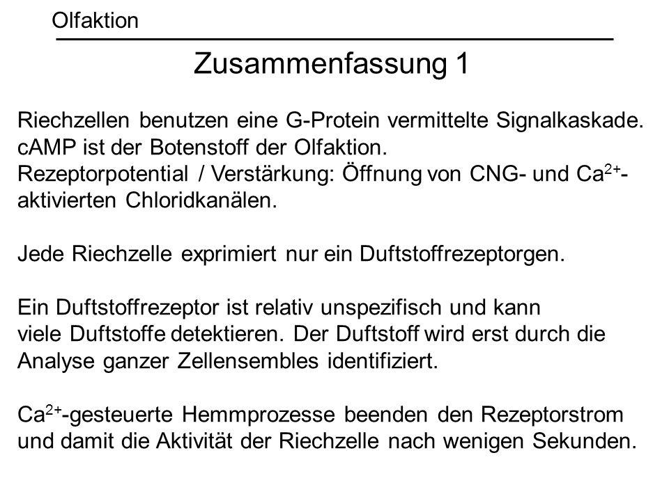 Riechzellen benutzen eine G-Protein vermittelte Signalkaskade. cAMP ist der Botenstoff der Olfaktion. Rezeptorpotential / Verstärkung: Öffnung von CNG