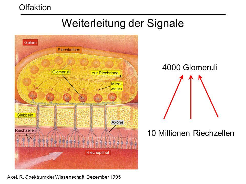 Weiterleitung der Signale Olfaktion 10 Millionen Riechzellen 4000 Glomeruli Axel, R. Spektrum der Wissenschaft, Dezember 1995