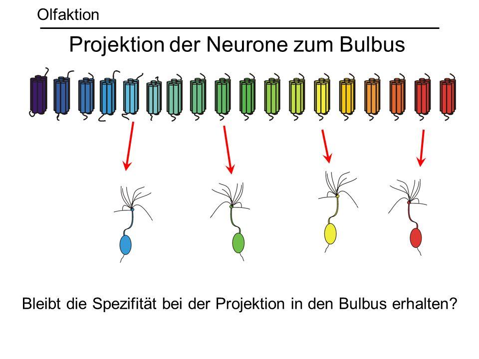 Olfaktion Bleibt die Spezifität bei der Projektion in den Bulbus erhalten? Projektion der Neurone zum Bulbus