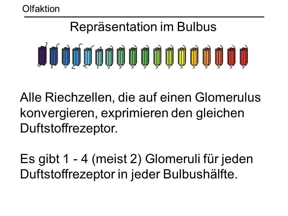 Repräsentation im Bulbus Olfaktion Alle Riechzellen, die auf einen Glomerulus konvergieren, exprimieren den gleichen Duftstoffrezeptor. Es gibt 1 - 4