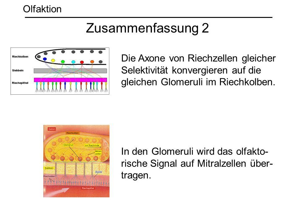 Zusammenfassung 2 Olfaktion Die Axone von Riechzellen gleicher Selektivität konvergieren auf die gleichen Glomeruli im Riechkolben. In den Glomeruli w