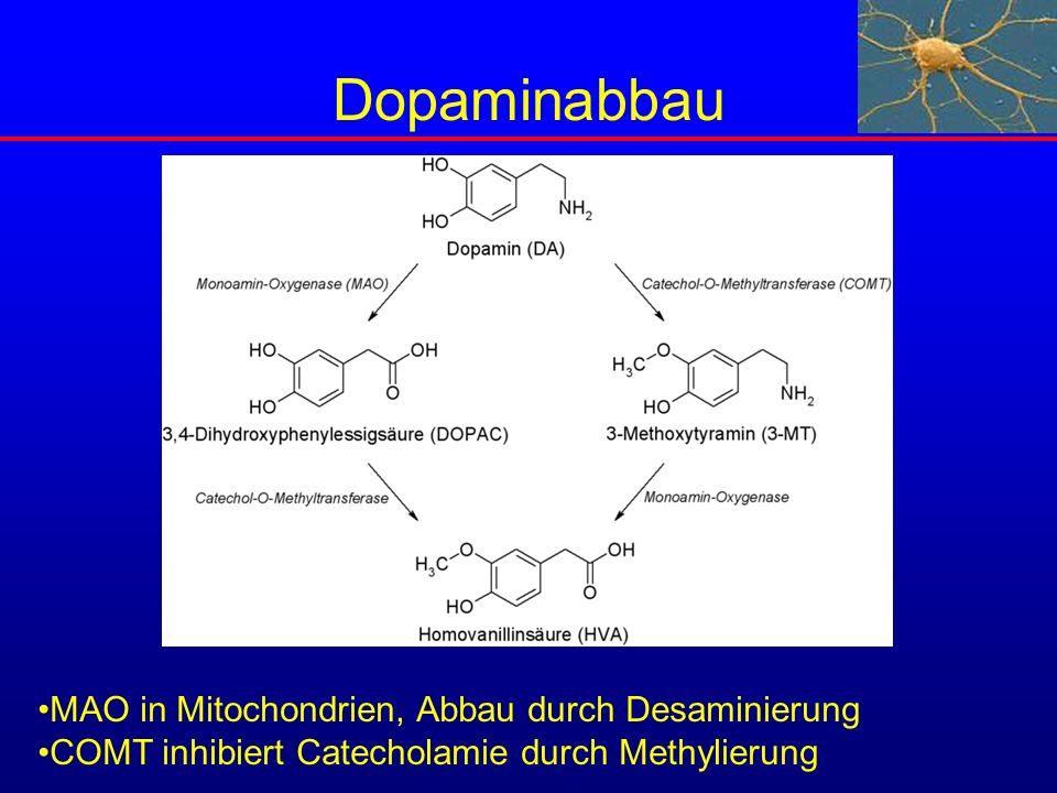 Dopaminabbau MAO in Mitochondrien, Abbau durch Desaminierung COMT inhibiert Catecholamie durch Methylierung