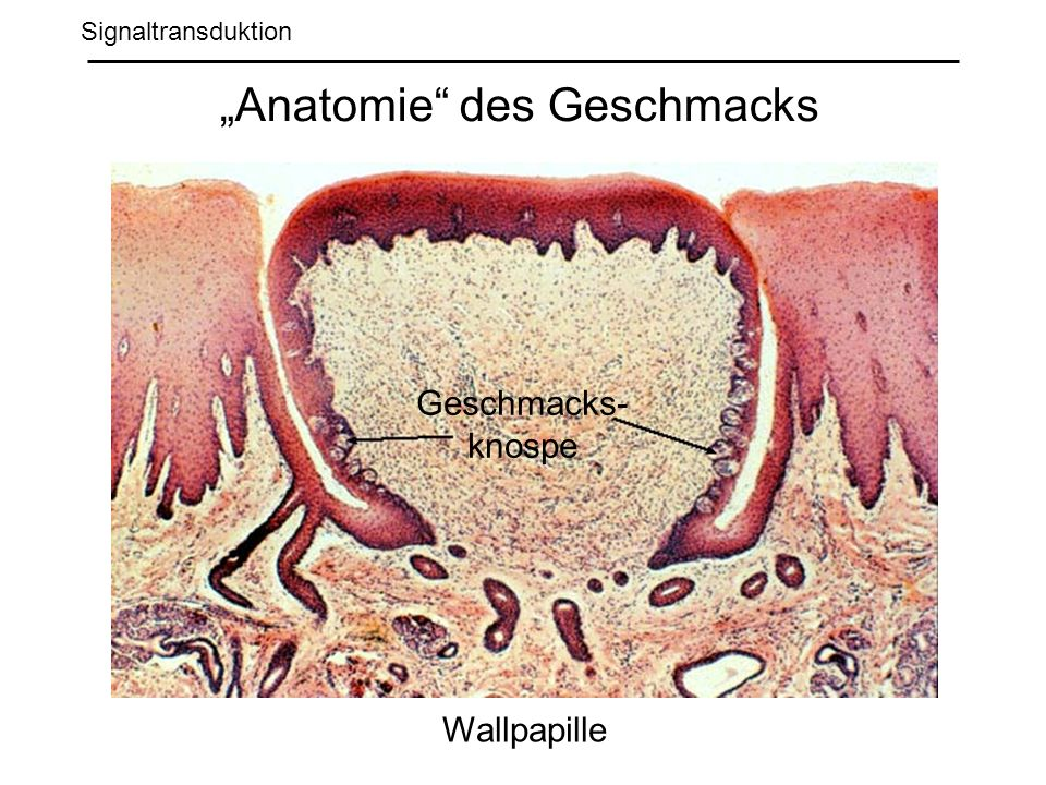 Signaltransduktion Anatomie des Geschmacks Wallpapille Geschmacks- knospe