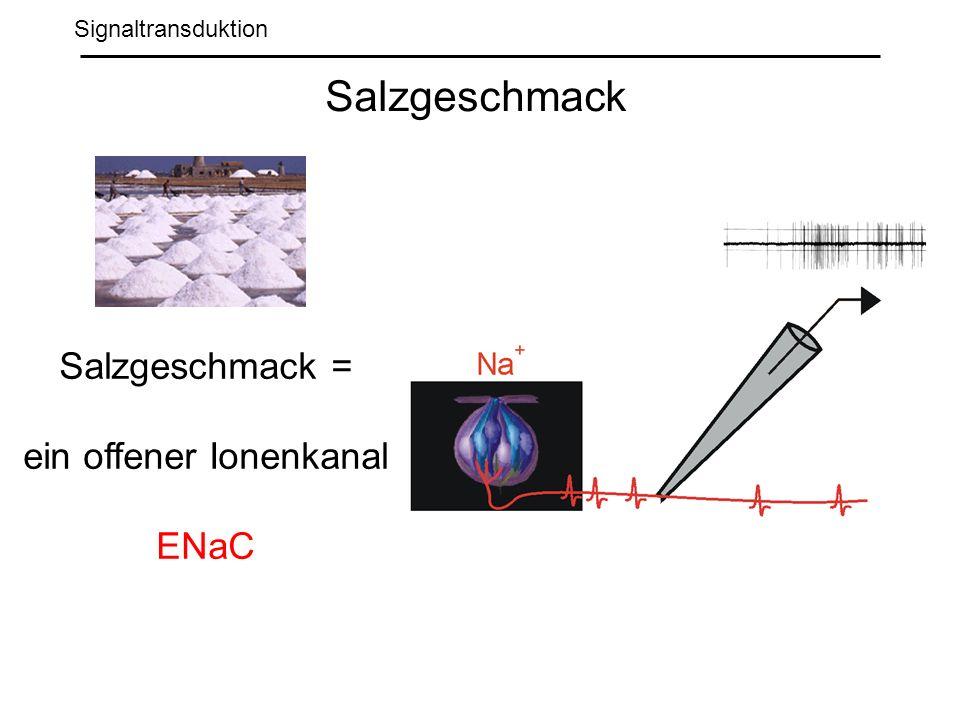 Signaltransduktion Salzgeschmack Salzgeschmack = ein offener Ionenkanal ENaC