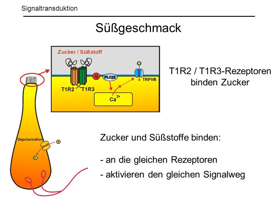 Signaltransduktion Süßgeschmack Zucker und Süßstoffe binden: - an die gleichen Rezeptoren - aktivieren den gleichen Signalweg T1R2 / T1R3-Rezeptoren binden Zucker