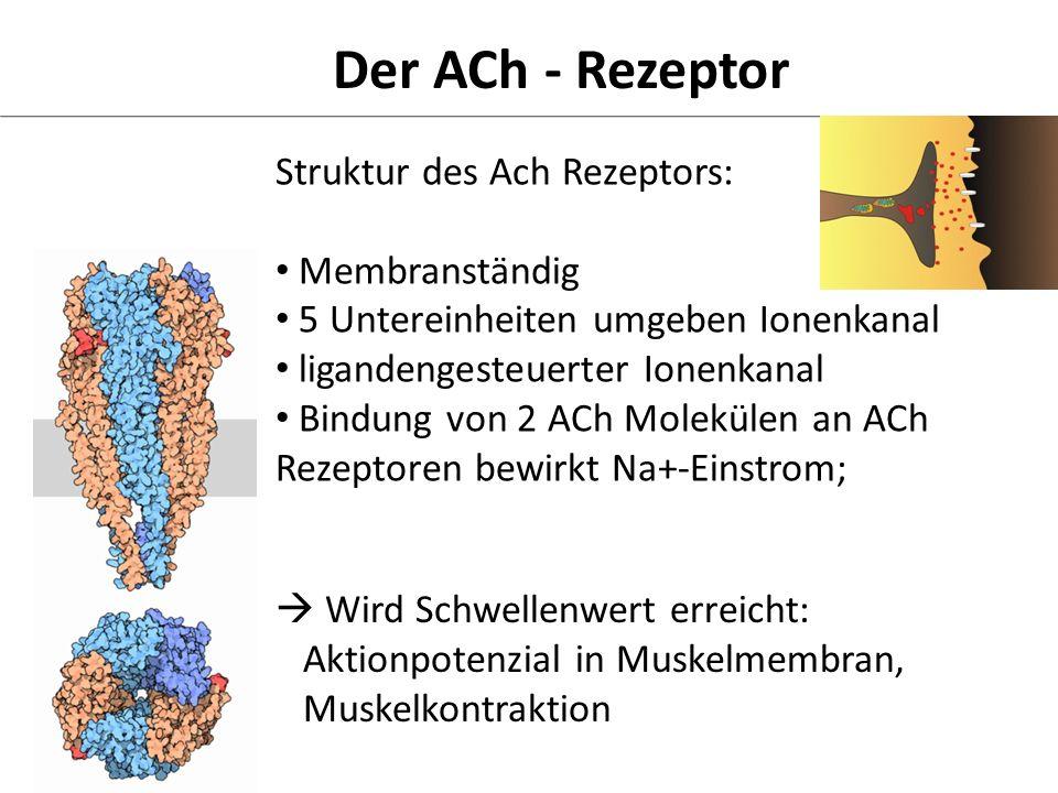 Der ACh - Rezeptor Struktur des Ach Rezeptors: Membranständig 5 Untereinheiten umgeben Ionenkanal ligandengesteuerter Ionenkanal Bindung von 2 ACh Mol