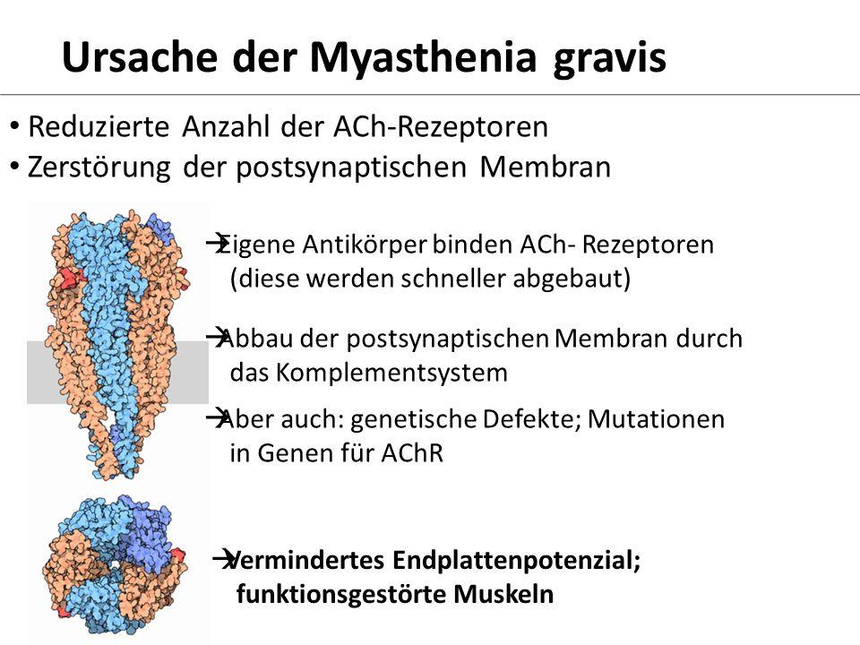 Ursache der Myasthenia gravis Reduzierte Anzahl der ACh-Rezeptoren Zerstörung der postsynaptischen Membran Eigene Antikörper binden ACh- Rezeptoren (d