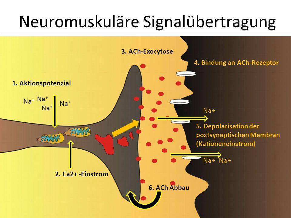 Neuromuskuläre Signalübertragung 1. Aktionspotenzial Na + 2. Ca2+ -Einstrom 3. ACh-Exocytose 4. Bindung an ACh-Rezeptor 5. Depolarisation der postsyna