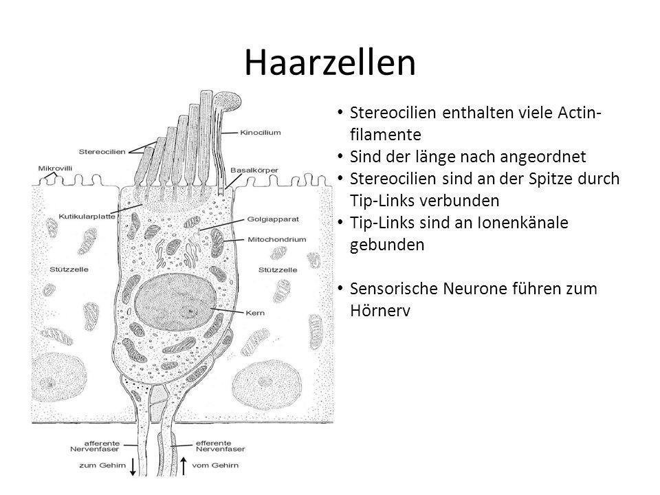 Haarzellen Stereocilien enthalten viele Actin- filamente Sind der länge nach angeordnet Stereocilien sind an der Spitze durch Tip-Links verbunden Tip-