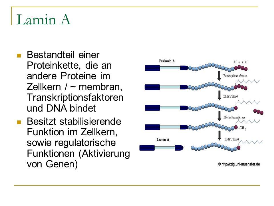 Lamin A Bestandteil einer Proteinkette, die an andere Proteine im Zellkern / ~ membran, Transkriptionsfaktoren und DNA bindet Besitzt stabilisierende