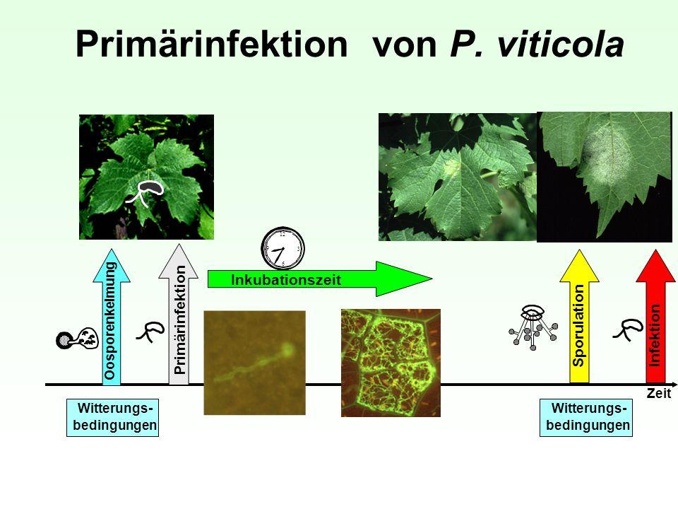 Primärinfektion von P. viticola 12 3 6 9 Inkubationszeit Sporulation Infektion Zeit Witterungs- bedingungen Witterungs- bedingungen Primärinfektion Oo