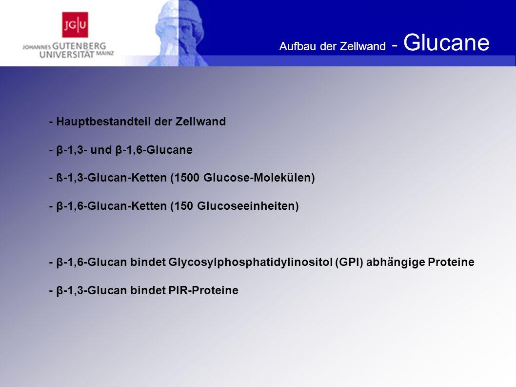 Aufbau der Zellwand - Mannoproteine Funktion: - Oberflächeneigenschaften - Agglutination und Flokkulation (GPI-abhängige Proteine) - Vermutung Beeinflussung der Zellwandfestigkeit (PIR-Proteine) - scheinen die Permeabilität der Zellwand zu bestimmen